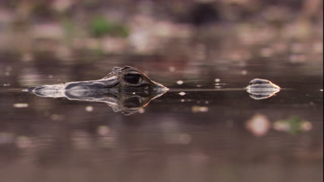 A spectacled caiman submerges and resurfaces in a swamp. Available in HD.