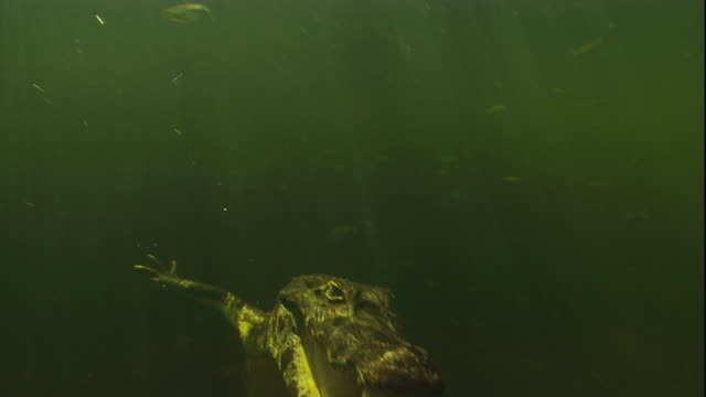 A spectacled caiman submerges to the swamp bottom. Available in HD.