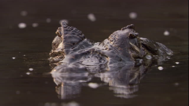 A spectacled caiman surfaces and peers out of the water. Available in HD.