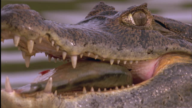 Spectacled Caiman swallows Red-Bellied Piranha whole Available in HD.