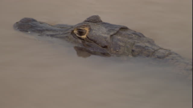 A spectacled caiman swims near the surface. Available in HD.