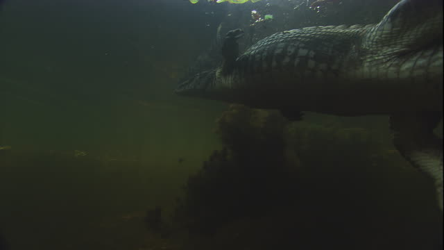 a spectacled caiman swims through the pantanal in brazil. available in hd. - 濃い点の映像素材/bロール