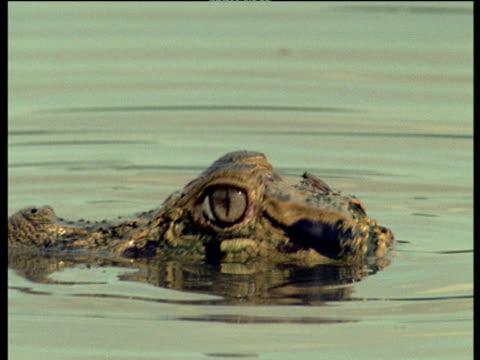 stockvideo's en b-roll-footage met spectacled caiman tries to avoid being bitten by irritating horse fly - lichaamsdeel van dieren