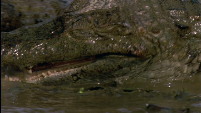 Spectacled Caiman tries to pick up Red-Bellied Piranha from water with its jaws Available in HD.