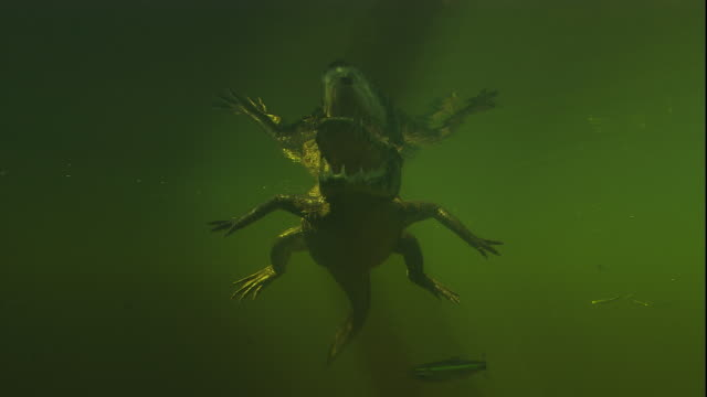 A spectacled caiman uses its tail to swim just under the surface of a swamp. Available in HD.