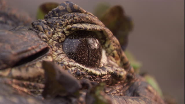 vídeos de stock, filmes e b-roll de a spectacled caiman's eye stares, unblinking. available in hd. - réptil