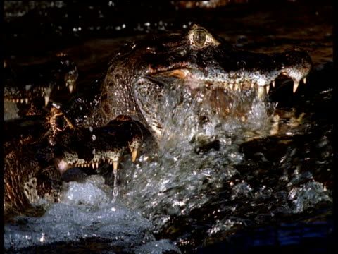 Spectacled caimans lie with jaws agape, fishing in rapids