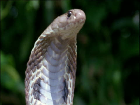 spectacled cobra reared up with hood spread, india - kopfbedeckung stock-videos und b-roll-filmmaterial