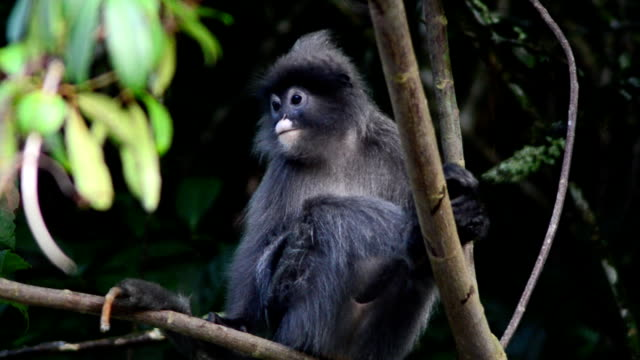 spectacled langur - extinct stock videos and b-roll footage