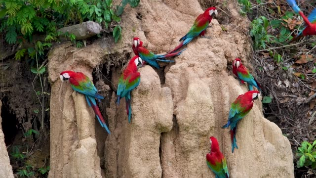 spectacular red-and-green macaws at a clay lick - south america stock videos & royalty-free footage