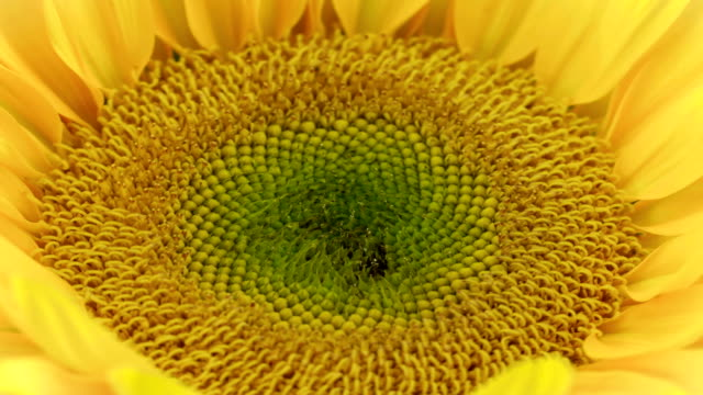 stockvideo's en b-roll-footage met spectaculaire zonnebloem bloom - zonnebloem