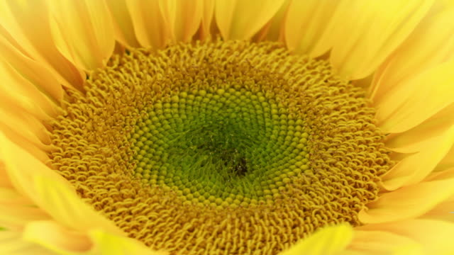 spectacular sunflower bloom - sunflower stock videos and b-roll footage