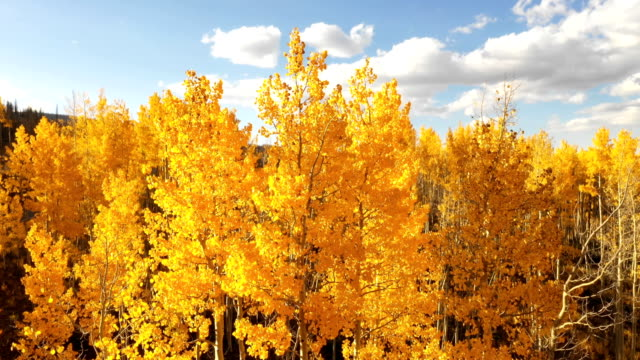 spectacular yellow colors of aspens against blue sky - aspen tree stock videos & royalty-free footage