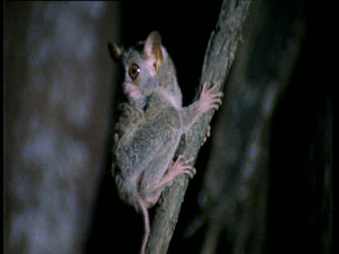 Spectral Tarsier chatters to camera then leaps out of shot