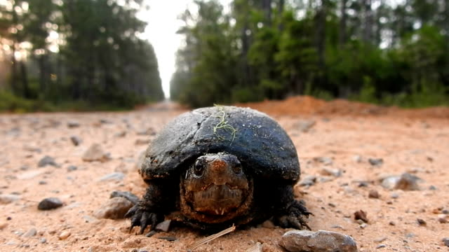 sped-up, low angle shot of mud turtle facing camera on forest road - florida us state stock videos & royalty-free footage