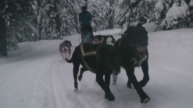 Speedy sled dogs running in woodland