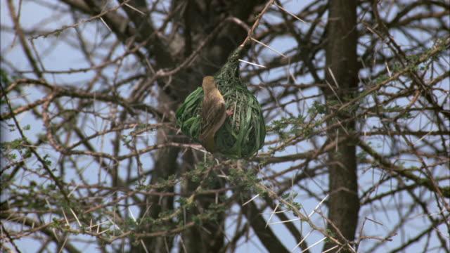 ms, speke's weaver, ploceus spekei perching onto hanging nest, serengeti national park, tanzania - animal nest stock videos & royalty-free footage