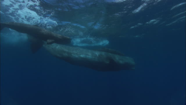 Sperm whale (Physeter catodon) and calves swim near ocean surface, Azores, Atlantic Ocean