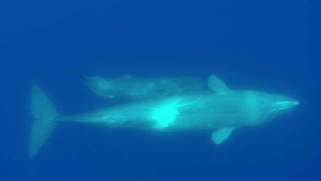 sperm whale and her calf swim look up at the camera as they swim below it, atlantic ocean, the azores, portugal. - sperm whale stock videos & royalty-free footage