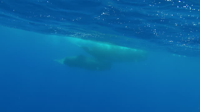 sperm whale and her calf swimming along at the surface, atlantic ocean, pico island, the azores, portugal. - sperm whale stock videos & royalty-free footage