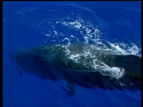 sperm whale at surface, azores - sperm whale stock videos and b-roll footage