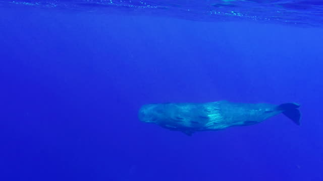 sperm whale calf covered in remoras swimming just below the surface gets interested in the dive boat, north western coast of mauritius. - sperm whale stock videos and b-roll footage