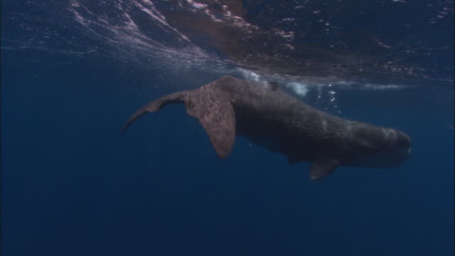 vídeos de stock e filmes b-roll de sperm whale (physeter catodon) calf swims near ocean surface, azores, atlantic ocean - um animal