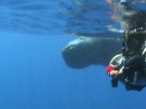 sperm whale,  curious calf. with cameraman. gulf of mexico - cetacea video stock e b–roll