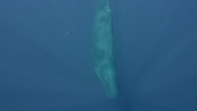 sperm whale descends into the ocean, sri lanka. - pottwal stock-videos und b-roll-filmmaterial