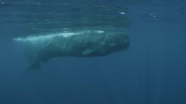 vídeos de stock e filmes b-roll de sperm whale descends into the ocean, sri lanka. - um animal