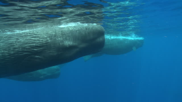 ms ts sperm whale family group / caribbean, dominicac - sperm whale stock videos & royalty-free footage