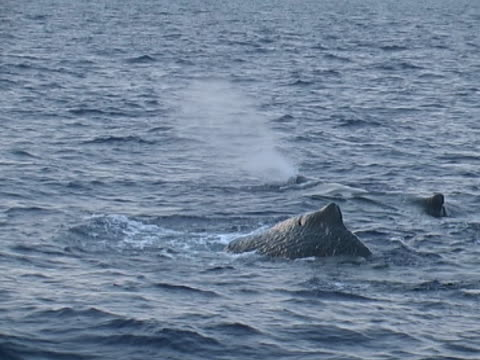 sperm whale, fluking up at dusk (2005) - lobtailing stock videos & royalty-free footage