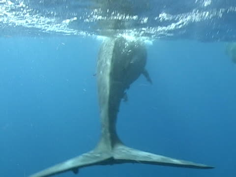 sperm whale, full frame tail of young whale at surface - pottwal stock-videos und b-roll-filmmaterial