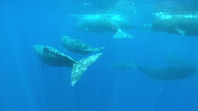 ms ts sperm whale group swimming and male with penis out / caribbean, dominica - sperm whale stock videos and b-roll footage