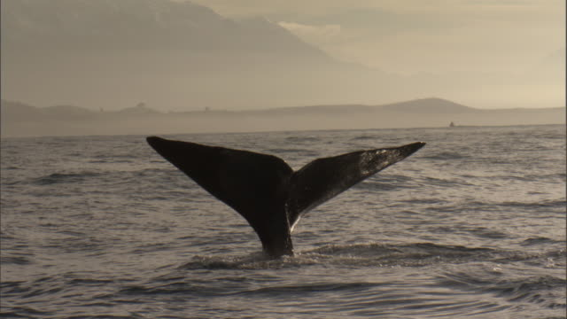 sperm whale (physeter macrocephalus) lifts its tail, new zealand - tail fin stock videos and b-roll footage