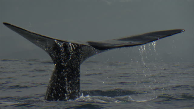 sperm whale (physeter macrocephalus) lifts its tail, new zealand - sperm whale stock videos & royalty-free footage