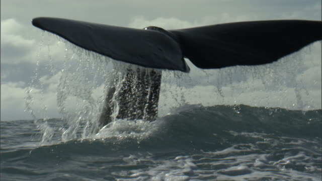 stockvideo's en b-roll-footage met sperm whale (physeter macrocephalus) lifts its tail, new zealand - staartjes