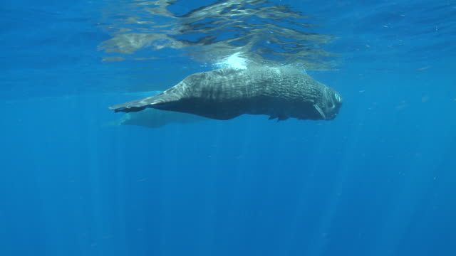 MS TS Sperm whale pair swimming and descending / Caribbean, Dominica