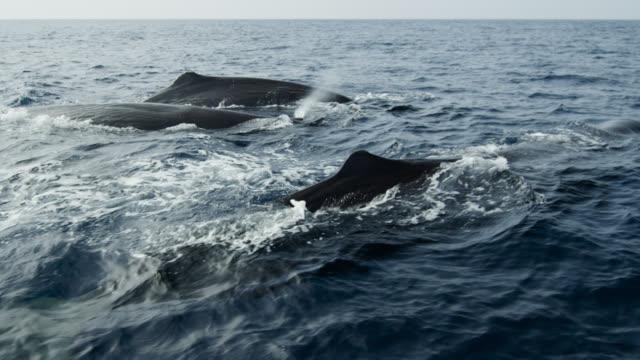 sperm whale pod swimming, sri lanka. - pod group of animals stock videos & royalty-free footage