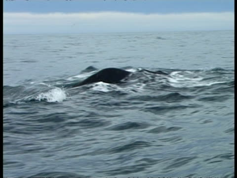 Sperm Whale - pov boat, CU back disappearing into water, tail rises in air & disappears into water, sea horizon, blue sky with white cloud
