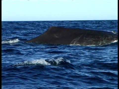 vidéos et rushes de sperm whale - pov boat, ms back visible above surface of sea water, tail raises in air & disappears beneath surface - cachalot
