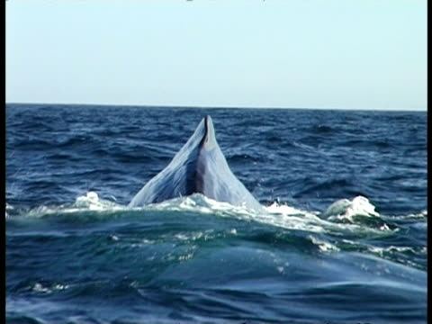 Sperm Whale - pov boat, CU back visible above surface of sea water, tail raises in air & disappears beneath surface