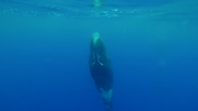 sperm whale resting vertically in the water looking at the camera, atlantic ocean, pico island, the azores, portugal. - sperm whale stock videos & royalty-free footage