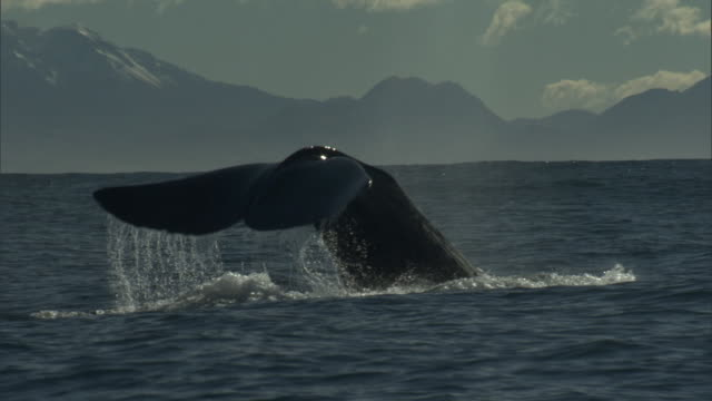 sperm whale (physeter macrocephalus) spouts and lifts its tail, new zealand - animal fin stock videos and b-roll footage