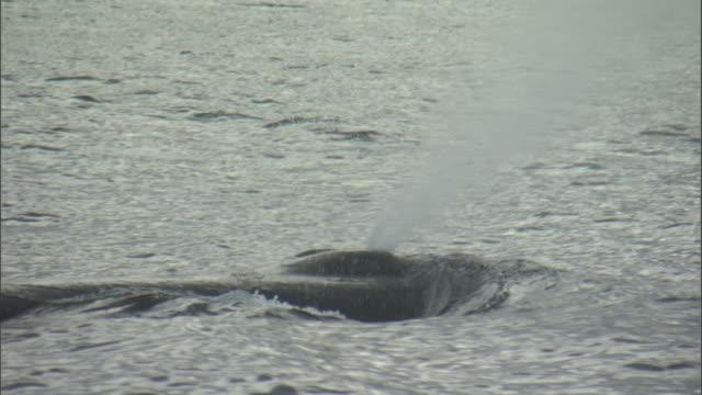 Sperm whale (Physeter macrocephalus) spouts, New Zealand