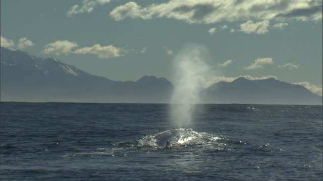 sperm whale (physeter macrocephalus) spouts, new zealand - whale stock videos & royalty-free footage