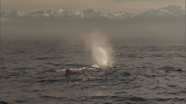 sperm whale (physeter macrocephalus) spouts, new zealand - cetaceo video stock e b–roll
