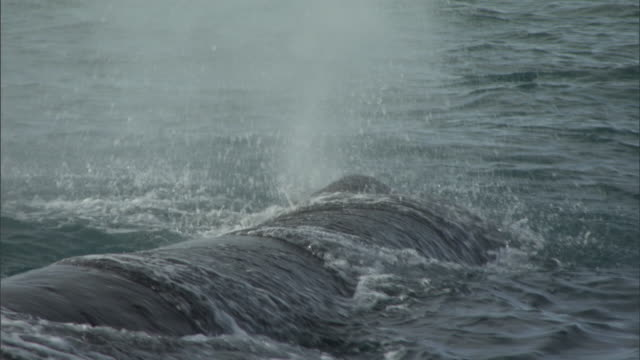 sperm whale (physeter macrocephalus) spouts, new zealand - sperm whale stock videos and b-roll footage