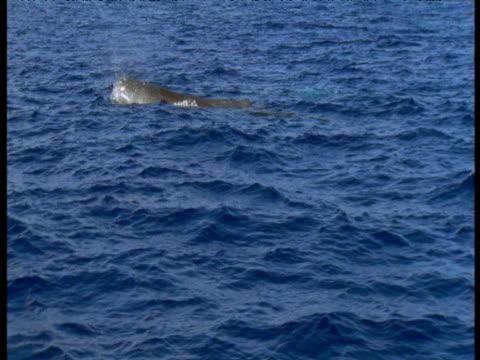 vidéos et rushes de sperm whale surfaces, azores - cachalot