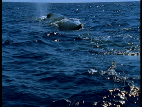 Sperm whale surfaces then dives showing tail flukes, Azores